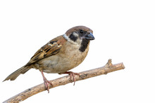 Eurasian Tree Sparrow Or   Passer Montanus, Beautiful Bird Perching On Brown Branch With White Background.