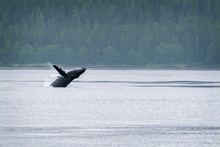 Humpback Whale Breaching In Al...