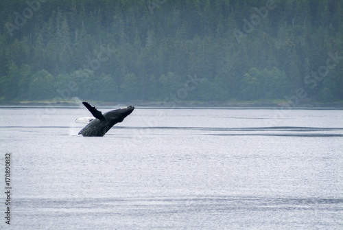 Humpback Whale Breaching in Alaska. A humpback whale leaps out of the water in a small channel just offshore in southeast Alaska near Sitka.