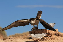 Osprey Eats Fish While Seagull...
