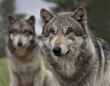 Two Wolves with one in the foreground and one in the background