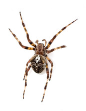 Spider On A White Background