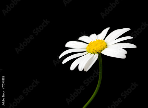 In de dag Madeliefjes Macro shot of white daisy flower against black background
