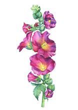 Lcea Rosea, Mallow Purple Flower (malva, Hollyhock, Althaea Rugosa). Watercolor Hand Drawn Painting Floral Illustration Isolated On White Background. For Design -posters, Greeting Card, Invitations.