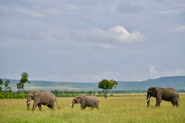 Plakat アフリカのゾウ