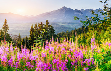 Fototapeta Do salonu Wild flowers at sunset in the mountains. Poland