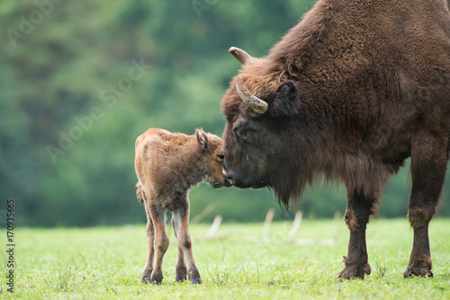 Deurstickers Buffel Bison d'Europe