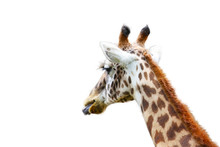 """Giraffe (""""Giraffa Camelopardalis"""") With The Tongue Out Photographed From Behind And Isolated On White Background. In The Photo Visible The Giraffe Neck And Head On A Plain Background.."""