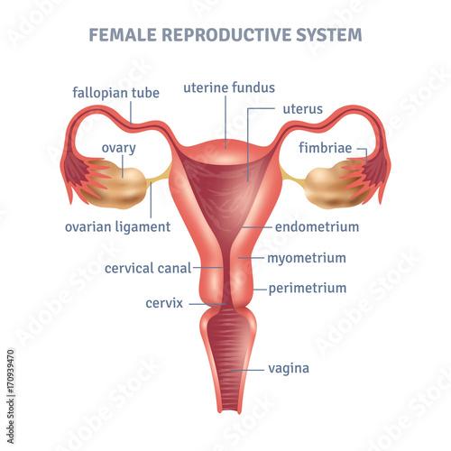 Fototapeta Uterus Poster