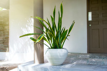 """Tropical Plant Sansevieria Trifasciata, Also Known As """"Mother-in-law's Tongue"""" Or The Snake Plant,  In A Round Pot At Home Doorsteps"""