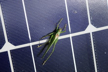 Grasshopper Warming Itself On A Solar Module