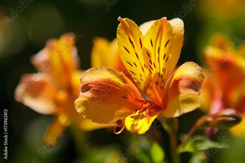 pomaranczowe-kwiaty-w-delikatne-ciemne-plamki-na-rozmazanym-tle