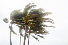 Palm Trees Blowing In The Wind...