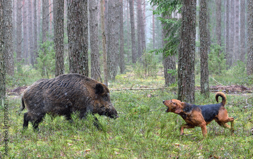 Poster Chasse Hunting with hound on wildboar