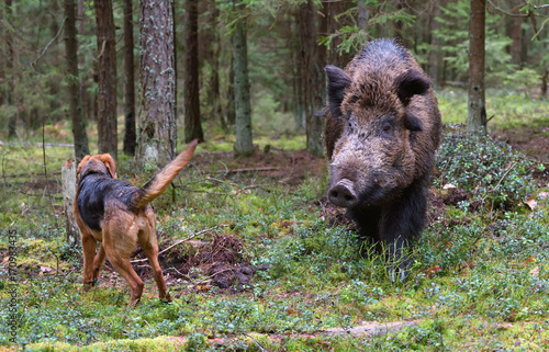 Hunting on wildboar