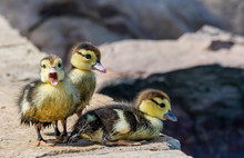 Baby Ducklings By The Pond
