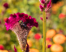 Bee On Pink Celosia