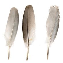 Bird Feather On White Background