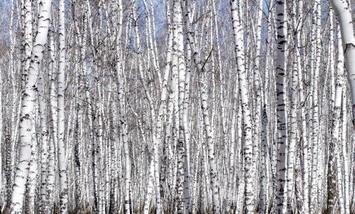 Fototapety, obrazy: White birch tree in early spring