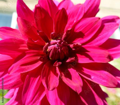 Staande foto Roze Flower Dahlia, landscape