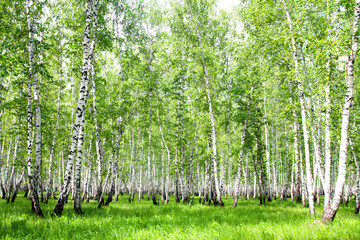 FototapetaWhite birch trees in the forest in summer