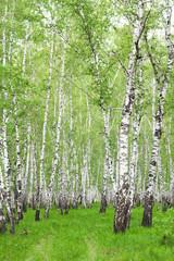 Fototapeta Optyczne powiększenie White birch trees in the forest in summer