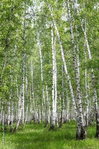 bialej-brzozy-drzewa-w-lesie-w-lecie