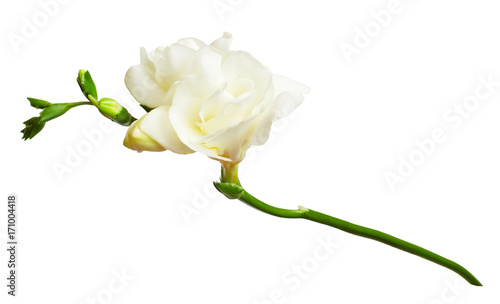 Fresh white freesia flowers buy this stock photo and explore fresh white freesia flowers mightylinksfo