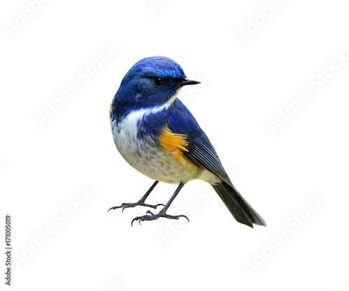 Photo Stands Bird Himalayan bluetail or Red-flanked,Orange-flanked bush-robin (Tarsiger rufilatus) lovely blue bird with yellow marking on its wings isolated on white background, fascinated nature