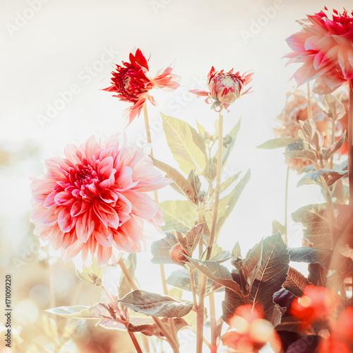 Plakat Piękne czerwone dalie kwitną w ogródzie lub parku, kwadrat