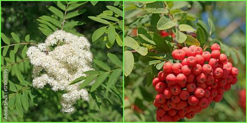 Fototapeta Rowan, Sorbus aucuparia, kwiaty, owoce