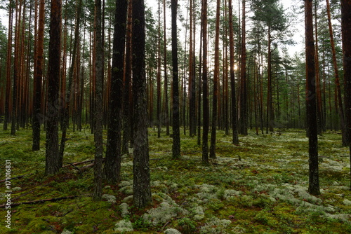 Fototapety, obrazy: Wet pine forest in the sunlight of the early morning sun