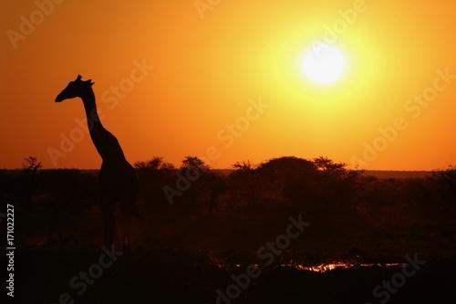 Staande foto Afrika Sunset time in Etosha Park Namibia - Giraffa at waterhole