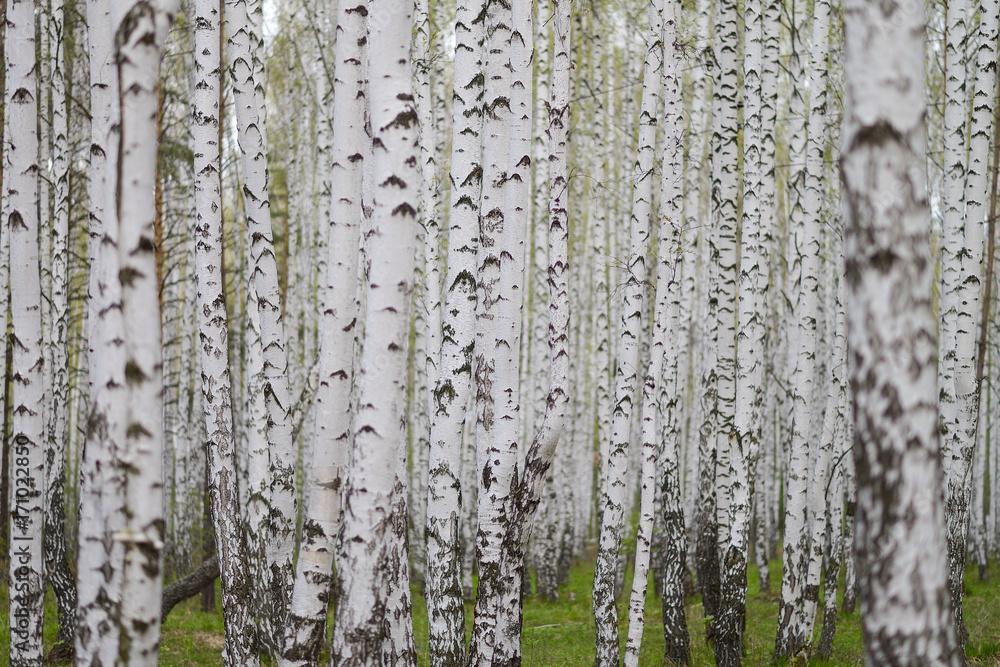 Лес берёзовый