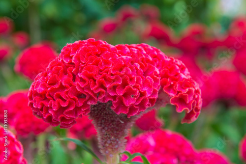 Valokuva  Plumed cockscomb blossom or Celosia argentea in beautiful garden