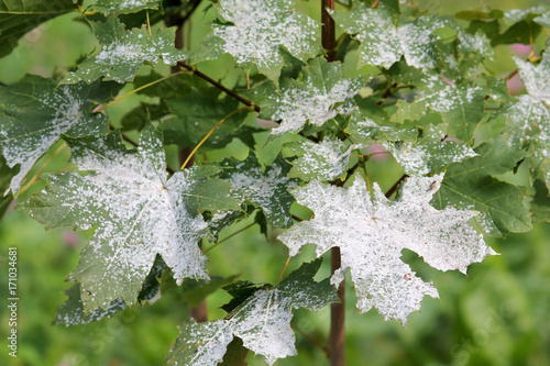 Powdery mildew on Norway Maple. Maple tree fungal disease