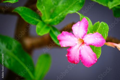 Zdjęcie XXL Kropla deszczu na kwiaty Azalia, Impala Lily lub Desert Rose lub makiety Azalia, piękny różowy kwiat w ogrodzie.