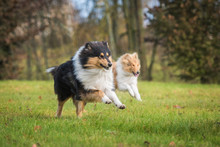 Two Rough Collie Dogs Running In Autumn