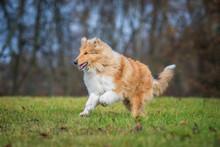 Rough Collie Dog Running In Autumn