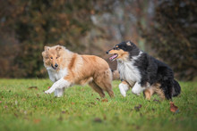Two Rough Collie Dogs Running ...