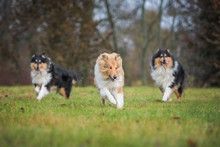 Rough Collie Dogs Playing In The Park
