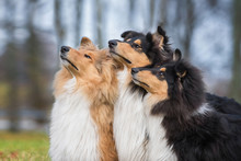 Group Of Rough Collie Dogs Looking Up