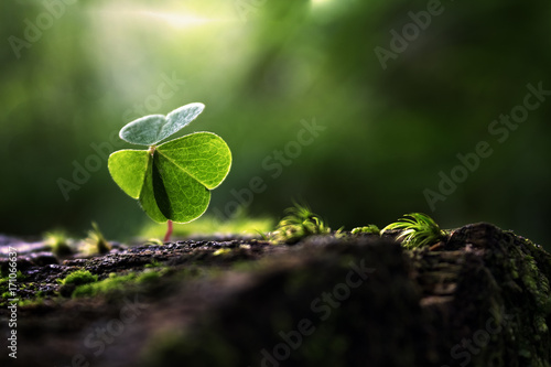 Shamrock in summer forest