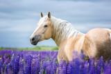 Fototapeta Konie - Palomino horse among lupine flowers.