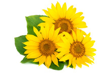 Three Sunflowers With Leaves I...