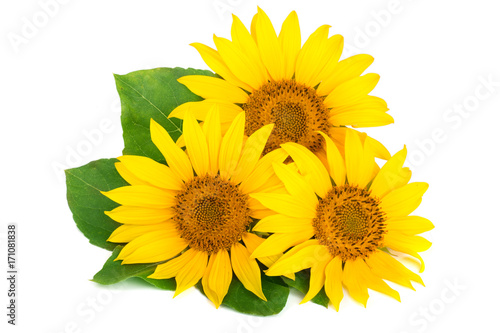 In de dag Zonnebloem Three sunflowers with leaves isolated on white background