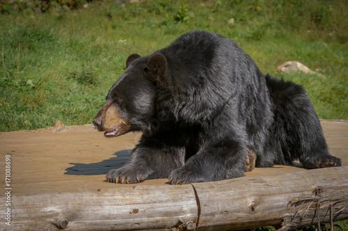 Staande foto Buffel Black bear enjoying the summer sun