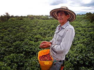 Coffee picker with hands full of coffee berries