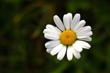 Daisy - White Flower Marguerite