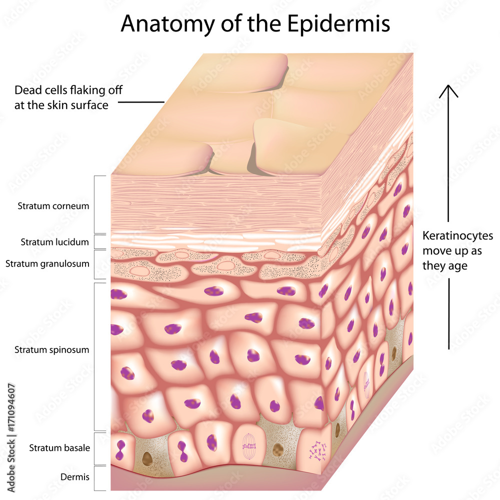 Fototapety, obrazy: 3d anatomy of layers of the epidermis